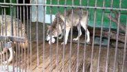 Смотреть онлайн Волк в зоопарке кушает куриц