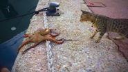 Смотреть онлайн Подборка: Кошки нападают на разных животных