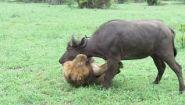 Смотреть онлайн Лев перегрызает горло буйволу