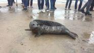 Смотреть онлайн Как передвигается тюлень на суше