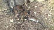 Смотреть онлайн Деревенская кошка ловит жирную крысу