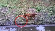Смотреть онлайн Кошка зря залезла к тигру в зоопарке